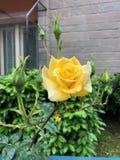 Las rosas hermosas de la ciudad foto de archivo