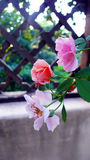 Las rosas plantan en el enrejado imagenes de archivo