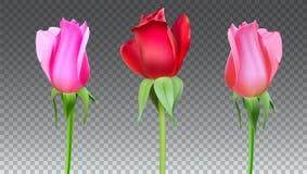 Las rosas realistas florecen con el tronco y se van Primer, aislado libre illustration