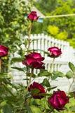 Las rosas rojas del arbusto florecen en fondo concreto de la cerca del macizo de flores del jardín Imagen de archivo libre de regalías