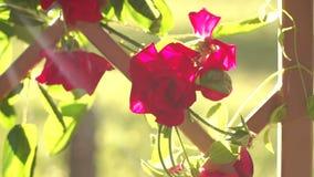 Las rosas rojas en la cerca de madera con el ` s del sol irradian almacen de video