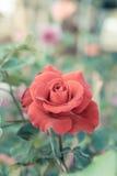 las rosas rojas florecen en el jardín, rosa colorida Fotos de archivo