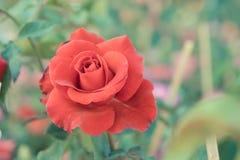 las rosas rojas florecen en el jardín, rosa colorida Foto de archivo