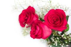 Las rosas rojas hermosas con el gypsophila florecen en un backgroun blanco Imágenes de archivo libres de regalías
