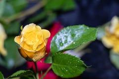 Las rosas rojas y amarillas, hermosas en brotes y se abren completamente en un fondo oscuro foto de archivo libre de regalías