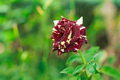 Las rosas rojas y el blanco son flores hermosas y fragantes Imagenes de archivo