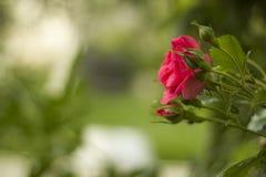 Las rosas rosadas con los brotes en jardín en verde empañaron el fondo Foto de archivo libre de regalías