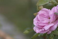 Las rosas rosadas están en la plena floración foto de archivo