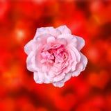 Las rosas rosadas florecen con el fondo rojo de la textura del degradee, enmarcan, se cierran para arriba Imagen de archivo