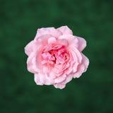 Las rosas rosadas florecen con el fondo verde de la textura del degradee, enmarcan, se cierran para arriba Fotos de archivo libres de regalías