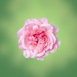Las rosas rosadas florecen con el fondo verde de la textura del degradee, enmarcan, se cierran para arriba Fotografía de archivo