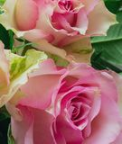 Las rosas rosadas hermosas se cierran para arriba foto de archivo