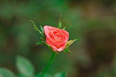 Las rosas rosadas son flores hermosas y fragantes Fotos de archivo libres de regalías