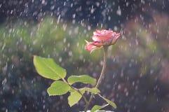 Las rosas rosas claras en el jardín en verano llueven Imagen de archivo