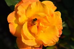 Las rosas se cierran para arriba en una rosaleda Foto de archivo libre de regalías