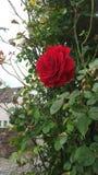 Las rosas son rojas fotos de archivo