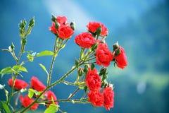 Las rosas son rojas Foto de archivo libre de regalías