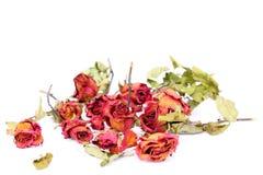 Las rosas y los pétalos marchitados dispersaron en el fondo blanco Imagenes de archivo