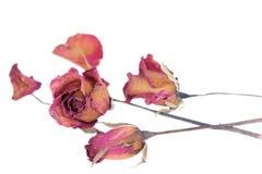 Las rosas y los pétalos marchitados dispersaron en el fondo blanco Imagen de archivo libre de regalías