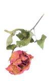 Las rosas y los pétalos marchitados dispersaron en el fondo blanco Fotos de archivo libres de regalías
