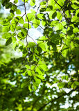 Las rozgałęzia się z zielonymi liśćmi Zdjęcia Royalty Free