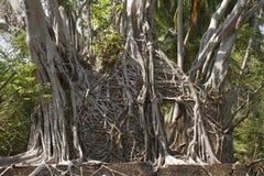 Las ruinas de casas torcieron raíces de los ficus en el Ross imagenes de archivo