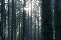 Las słońce błyszczy między drzewami Obraz Royalty Free