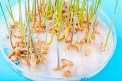 Las semillas brotadas del trigo en el laboratorio biotecnological imagen de archivo