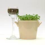 Las semillas de Chia y el chia verde brota en un pote Imagen de archivo libre de regalías