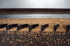 Las semillas de guisante saltan en la tabla vibrante de la planta de semilla antes de conservar en vinagre y más lejos de sembrar imagenes de archivo