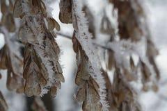 Las semillas de la ceniza en la nieve Fotografía de archivo