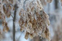 Las semillas de la ceniza en un primer de los copos de nieve Fotografía de archivo libre de regalías