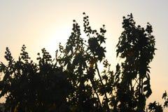 Las semillas de los commumis del Ricinus Fotografía de archivo