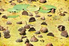 Las semillas de Lotus indio Imagenes de archivo