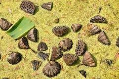 Las semillas de Lotus indio Fotografía de archivo libre de regalías