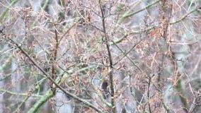Las semillas del arce de campo se sacudieron levemente del viento almacen de metraje de vídeo