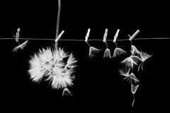 Las semillas del diente de león con las pinzas pequeñas, de madera del lavadero y enrarecen el alambre metálico Foto de archivo