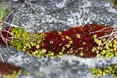 Las semillas del musgo se cierran para arriba Imagen de archivo
