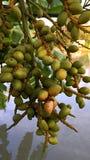 Las semillas verdes de la palma se cierran para arriba Imagen de archivo