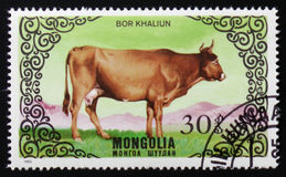 Las series de imágenes del ` crían el ` de las vacas, circa 1985 Fotografía de archivo