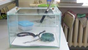 Las serpientes muerden el palillo en un terrario: víbora del prado - ursinii del Vipera, cámara lenta almacen de video