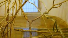 Las serpientes venenosas suben las ramas de un árbol en terrario metrajes
