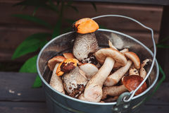 Las setas anaranjadas y marrones comestibles salvajes del boleto del casquillo adentro pueden Fotos de archivo libres de regalías