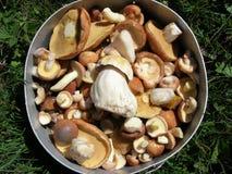 las setas comestibles recogieron en una cacerola en el bosque Imagen de archivo