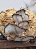Las setas de ostra se dirigen foto de archivo libre de regalías