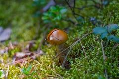 Las setas del Suillus con el sombrero marrón crecen en musgo y arándanos Fotografía de archivo