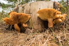 Las setas hermosas crecen al lado de un tronco seco Foto de archivo libre de regalías