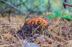 Las setas hermosas crecen en el bosque en musgos e hierba imagenes de archivo