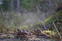 Las setas, setas, hongos que crecen en rama del pino como pequeñas arañas caminan sobre ellas durante octubre en un arbolado del  imagenes de archivo
