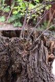 las się rozrasta fiszorka zieleni drzew Drewna korowaty tło tekstury korowaty stary topolowy drzewo Natura Obraz Stock